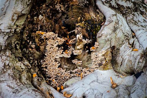 Mount Auburn beeches