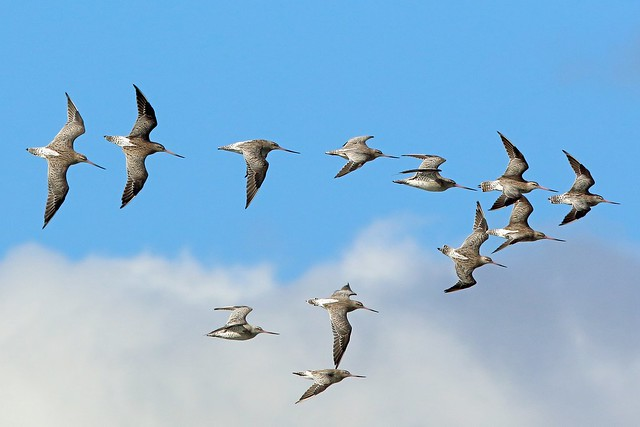 Bar-tailed Godwit, Musselburgh, East Lothian, Scotland