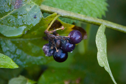 Black nightshade berries