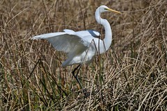 Great Egret  ( looking for dinner )