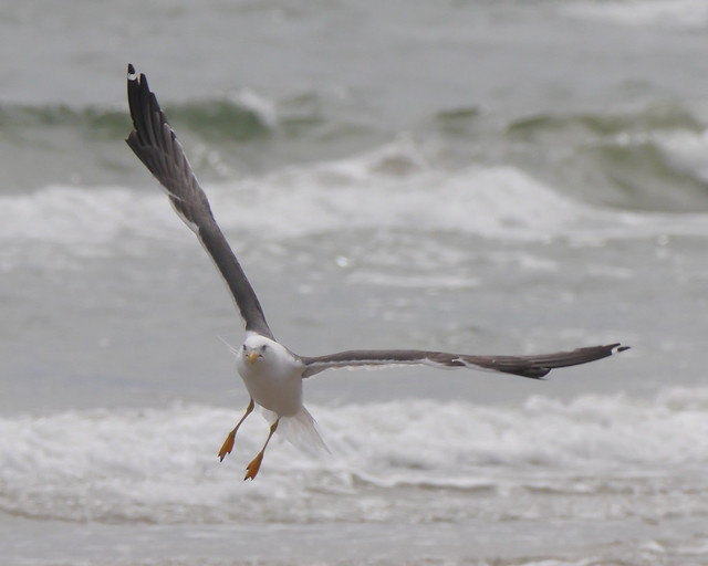 Lesser Black-backed Gull - 2 - 1