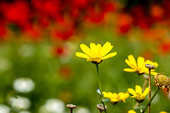 Buttercups with blurred poppies
