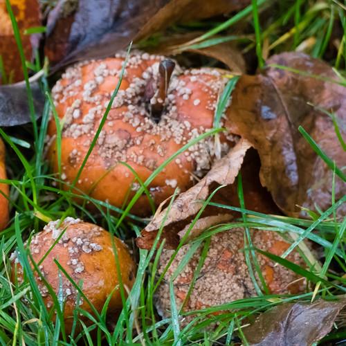 Autumn fungi: fallen apples rotting