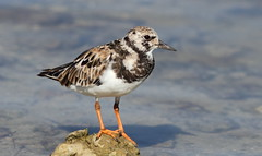 Ruddy Turnstone- Hudson Beach