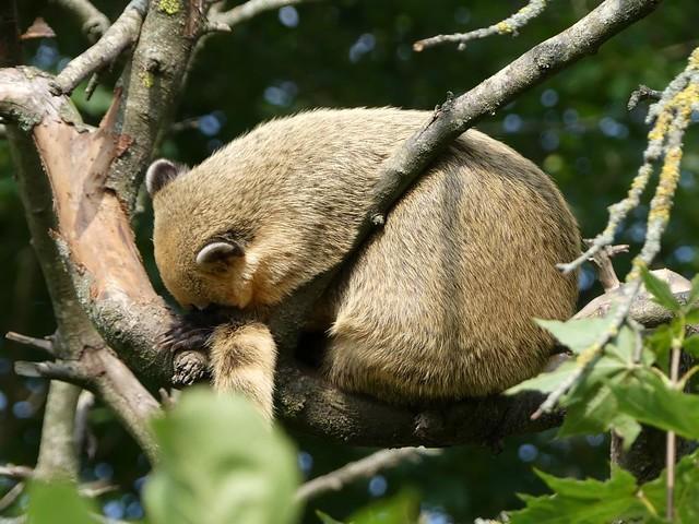 Schlafender Nasenbär, Zoo Givskud