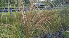 Chinese Silvergrass (Miscanthus sinensis), West End Blvd. at Rt. 4, St. Leonard, Broomes Island Quad, Calvert County, MD, 2018_0927