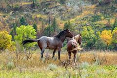 Wild Horses of Theodore Roosevelt National Park