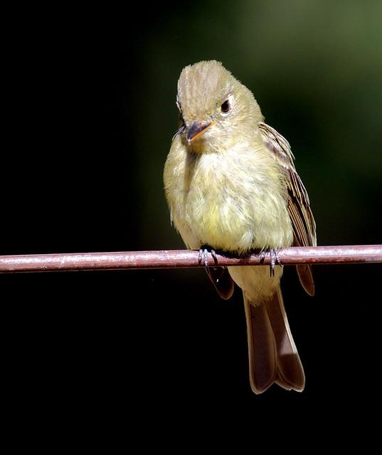 Cordilleran Flycatcher (Empidonox occidentalis); Santa Fe National Forest, NM, Thompson Ridge [Lou Feltz]