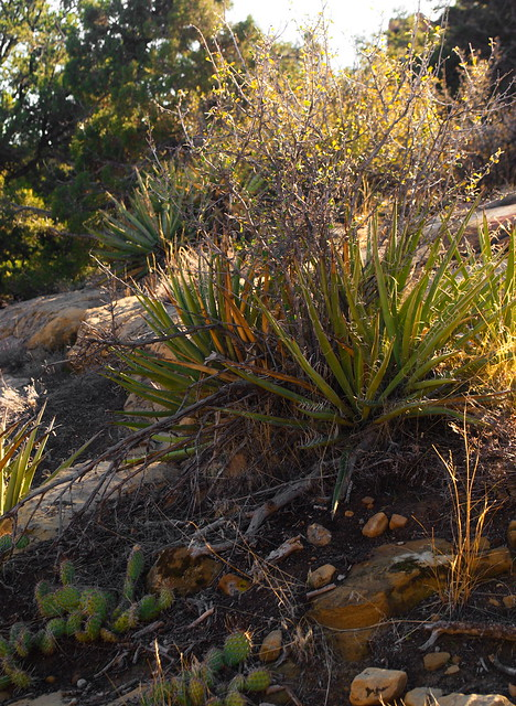 yuccas and opuntia