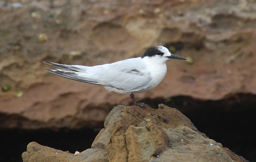 Common Tern, Sandon Point