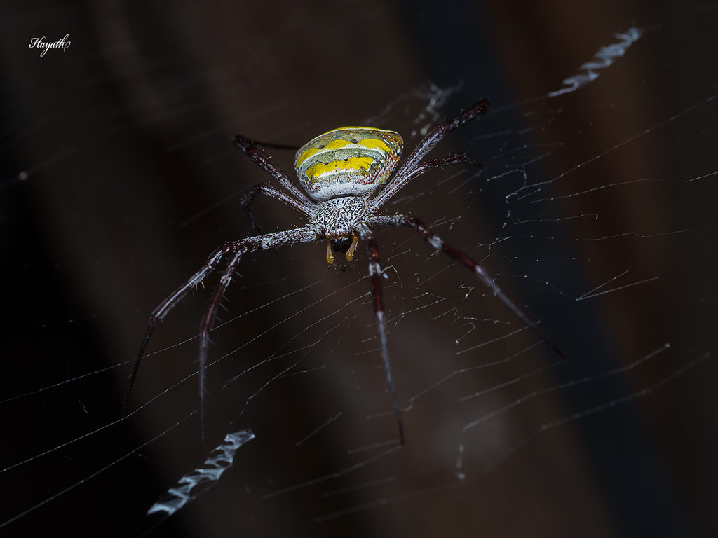 Signature spider, Argiope sp