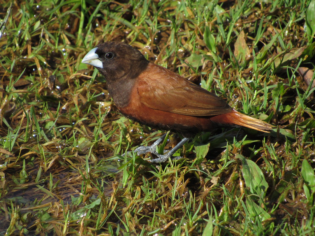 Chestnut Munia 10/25/18