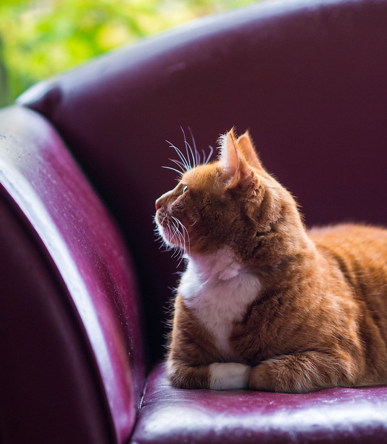 Tigger on sofa, Nikon DF, AF DC-Nikkor 135mm f/2D