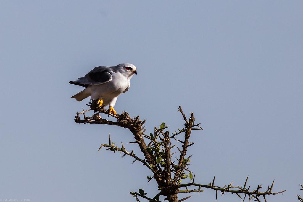 Serengeti_17sep18_04_gaie cu aripi negre