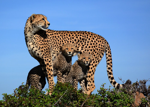 Mother Cheetah & Cubs