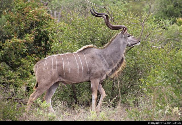 Greater Kudu, Kruger NP, South Africa
