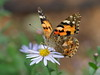 Photo:Painted lady butterfly (Vanessa cardui) By Greg Peterson in Japan