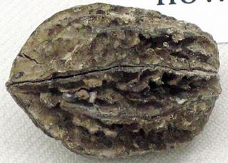 Juglans bergomensis (fossil walnut) (Pleistocene; Italy)