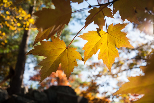 Sun-dappled Maple Leaves