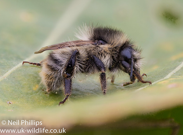 Shrill carder bee stacked