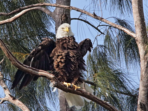 Bald Eagle male Pride ruffled 06-20181007