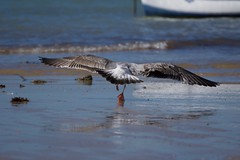 Goéland leucophé - Gavian argentat de patas jaunas - Yellow-legged gull - Larus michahellis