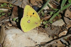 Clouded Yellow (Colias croceus) - Photo of Taussac-la-Billière