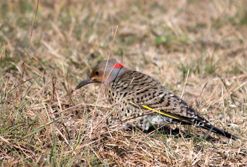 Northern Flicker - ( yellow-shafted)