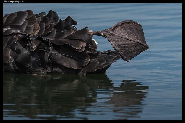 Black Swan Put your, Nikon D500, Sigma 150-600mm F5-6.3 DG OS HSM | S