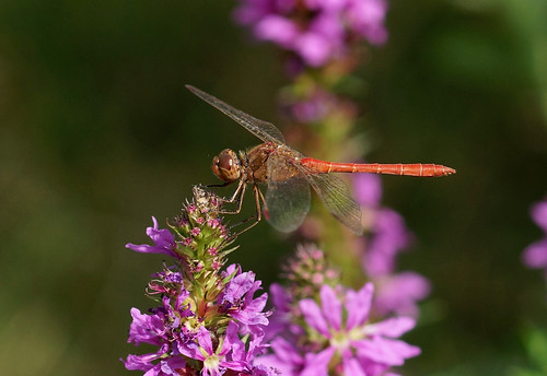 Southern Darter –-- Sympetrum meridionale