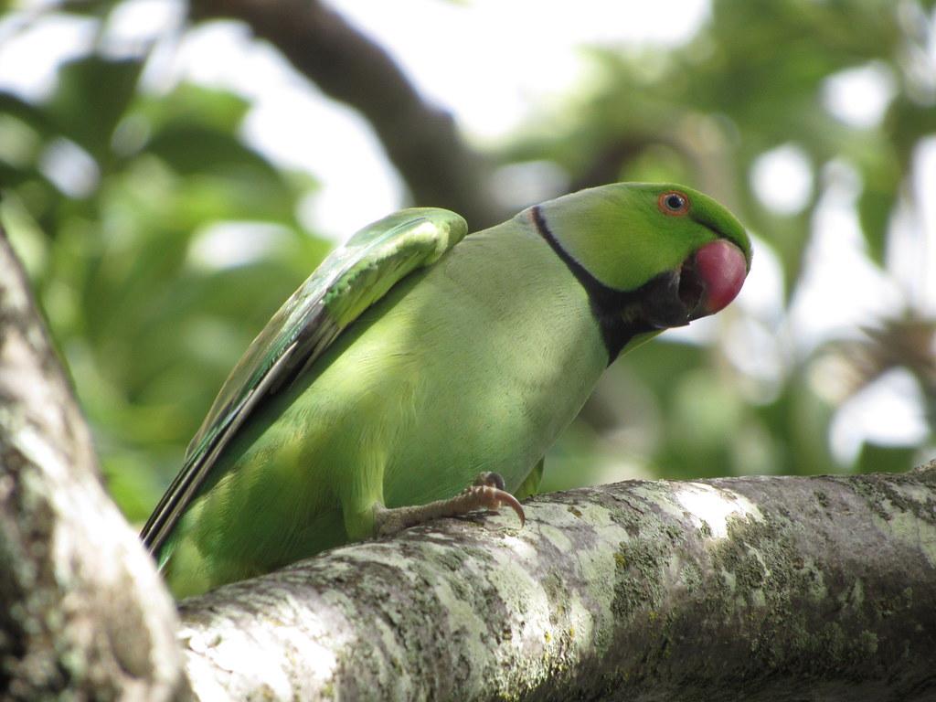 Rose-ringed Parakeet 11/7/18