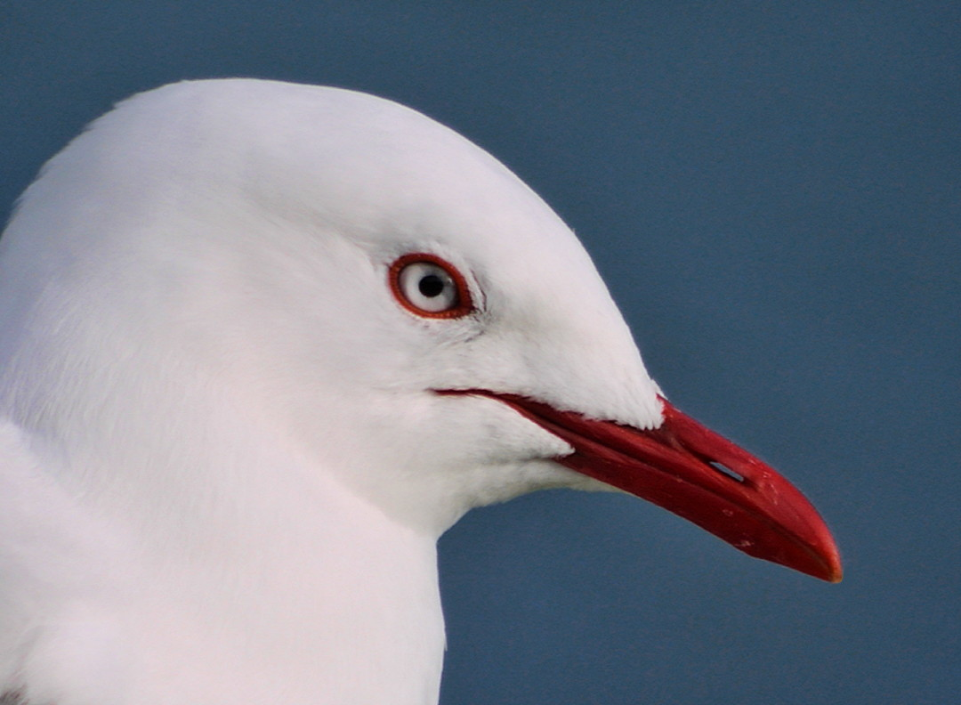 A red-billed gull (Chroicocephalus scopulinus) in Picton, Marlborough, New Zealand. Photo taken by Sid Mosdell on October 2, 2010.