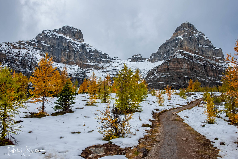 Larch and snow