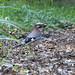 Jay at Warnham Nature Reserve