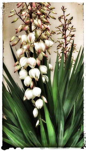 Yucca with flowers in the photo app Snapseed