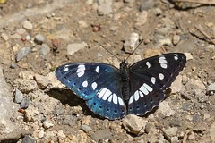 Southern White Admiral (Sydlig Hvid Admiral), Dignes-les-Bains - Photo of Champtercier