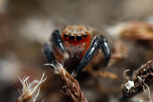 Jumping spider - Euophrys rufibarbis ♂