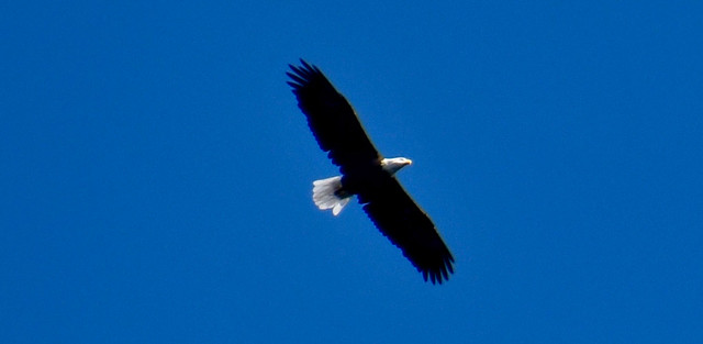 Bald Eagle over Lake George (NY) September 2018