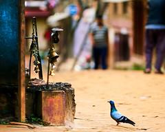 Pigeon sitting near a Hindu Shrine in Bhaktapur, Nepal