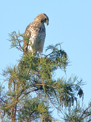 Red-shouldered Hawk immature 01-20181026