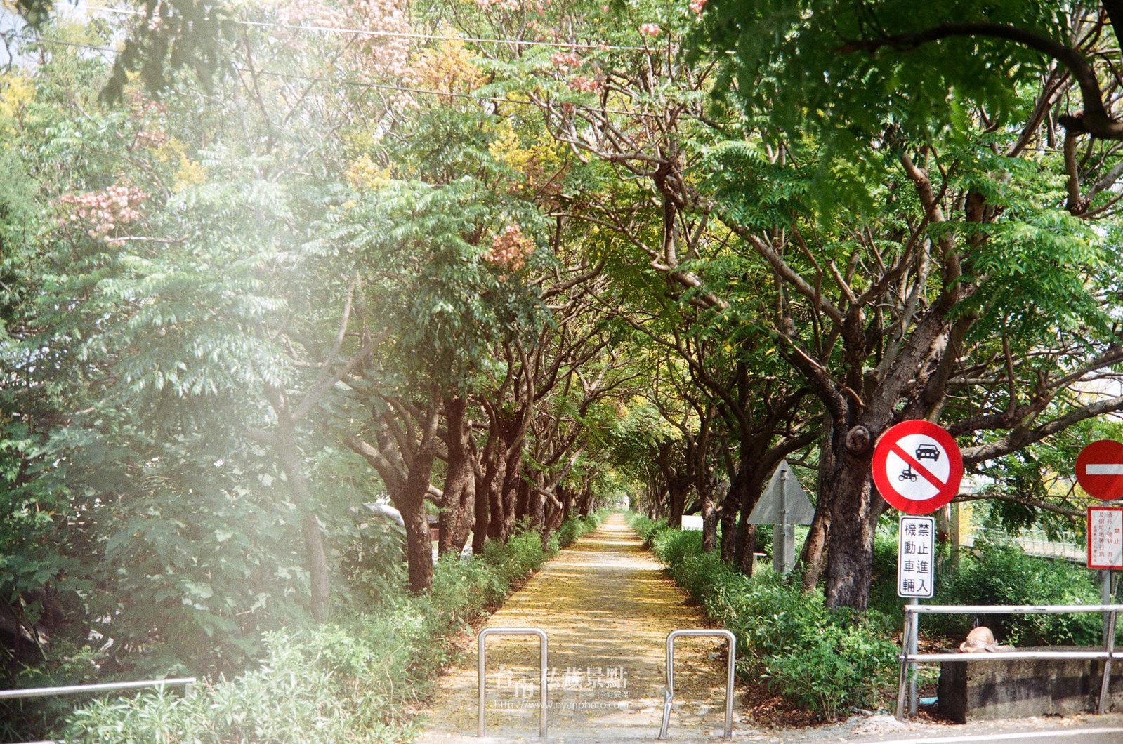 台南台灣欒樹29