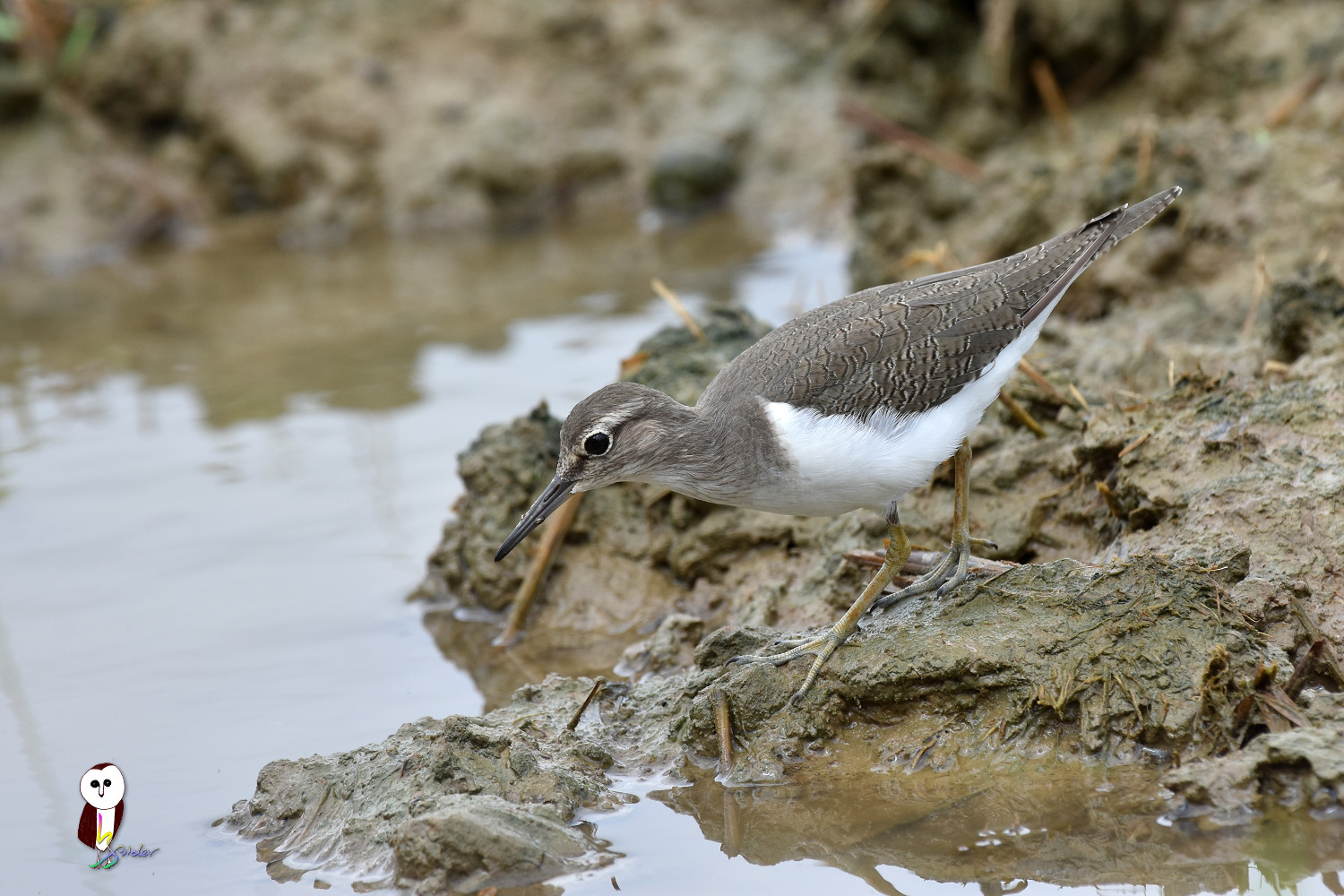 Common_Sandpiper_7585