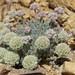Shockley buckwheat, Eriogonum shockleyi var. shockleyi by Jim Morefield