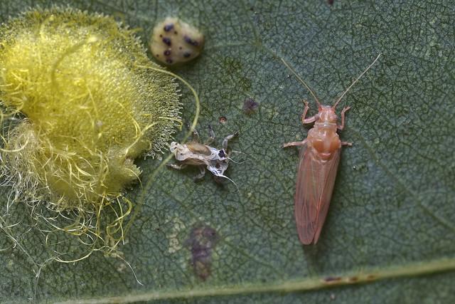 Creiss longipennis (Psyllidae)