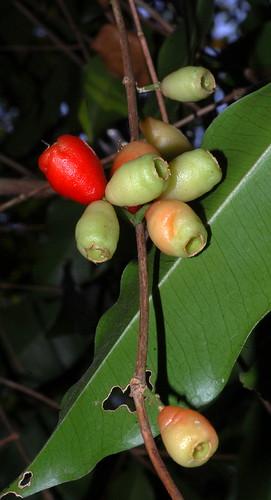 Syzygium claviflorum DSC_0941 (3)