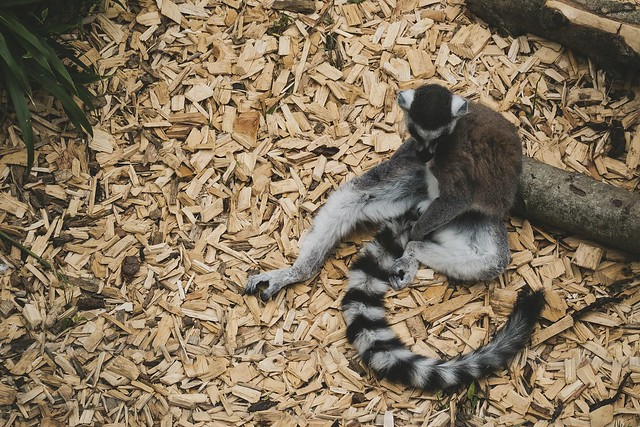 Colchester Zoo: Ring-tailed Lemur, Fujifilm X-T2, XF100-400mmF4.5-5.6 R LM OIS WR + 1.4x