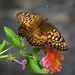 Variegated fritillary by mimbrava