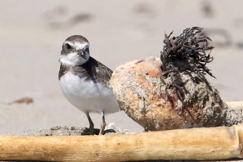 Morro Strand Beach: Semipalmated Plover Juvenile