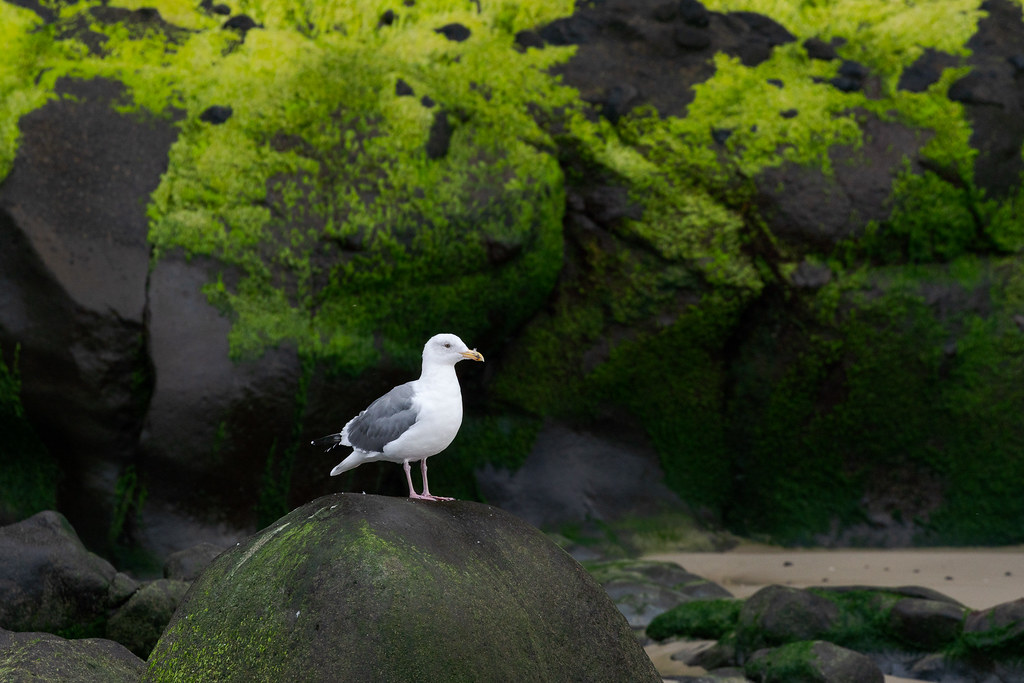 A western gull (I think) perches on a large boulder in front of a moss-covered cliff on the beach at Heceta Head on the Oregon coast