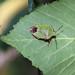 Common Green Shieldbug!